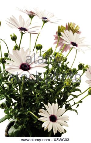 Glanduläre Kap-Ringelblume (Dimorphotheca Sinuata) - Stockfoto