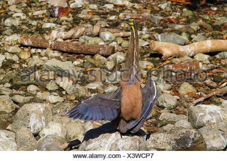 Bare-throated Tiger Heron (Tigrisoma geschieht), Sonnenbaden, Costa Rica, Rio Tarcoles - Stockfoto