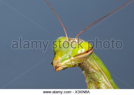 Europäische Jagd Gottesanbeterin (Mantis Religiosa), portrait - Stockfoto