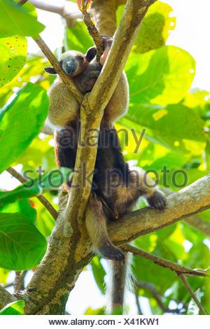 Nördlichen Tamandua (Tamandua Mexicana) Kletterbaum, Corcovado Nationalpark, Osa Halbinsel, Provinz Puntarenas, Costa Rica. - Stockfoto