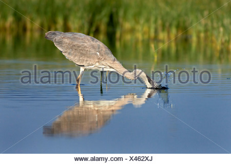 Graureiher (Ardea Cinerea), Fischfang mit Reflexion in der Lagune, Spanien - Stockfoto