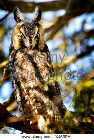 Lange eared Eule, Asio Otus, thront in einer Jack Kiefer, Amherst Island, Ontario, Canada - Stockfoto