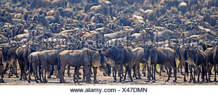 Völkerwanderung, Gnus (Connochaetes Taurinus), Gnus drängeln auf am Ufer des Mara Flusses, Masai Mara, Kenia, Afrika - Stockfoto