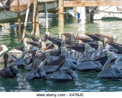 Schwarm Pelikane in Wasser - Stockfoto