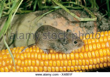 Gemeinsamen Wühlmaus auf einem Maiskolben / Microtus Arvalis Stockfoto