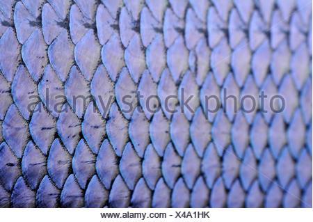fischschuppen skalen der regenbogenforelle a fisch schuppen von einem see felchen als extreme close up stockfoto boxhagener str