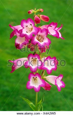 Penstemon \'Laura\', rote und weiße Bartfaden Blume Blumen Garten ...