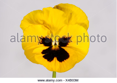 Gelbe Stiefmütterchen (Viola) Blume mit einem dunklen Zentrum vor ...