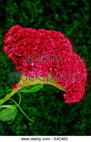 hahnenkamm celosia cristata amaranthaceae costa rica mittelamerika pflanze pflanzen bl hen. Black Bedroom Furniture Sets. Home Design Ideas