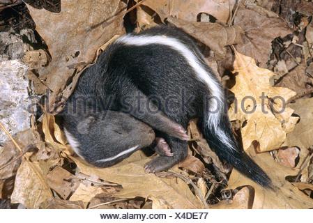 Neugeborenen Striped Skunk (Mephitis Mephitis) in der Familie der Geburt Den Minnesota dösen.