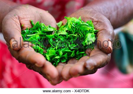 Ältere Frau, die Teeblätter in ihren Händen, Ella, Uva, Sri Lanka hält - Stockfoto