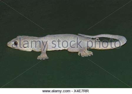 Bauche Haus Gecko, Hemidactylus Flaviviridis, Indien