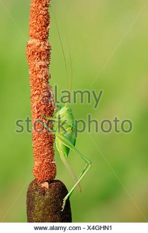Große grüne Bush Cricket (Tettigonia Viridissima), Weiblich, larval Stadium, North Rhine-Westphalia, Germany - Stockfoto