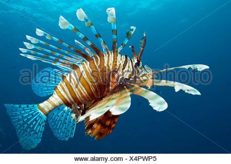 Feuerfische.  Ägypten, Rotes Meer. - Stockfoto