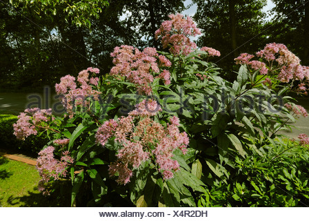 bl hende joe pye weed eupatorium purpureum stockfoto. Black Bedroom Furniture Sets. Home Design Ideas