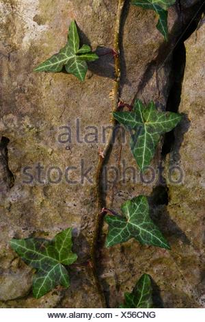 Efeu (Hedera) wachsen entlang einer Felswand in der Nähe von Hemer, Nordrhein-Westfalen, Deutschland, Europa