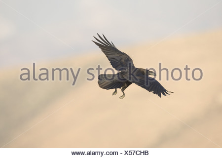 Kanarischen Inseln Raven (Corvus Corax Tingitanus) c - Stockfoto
