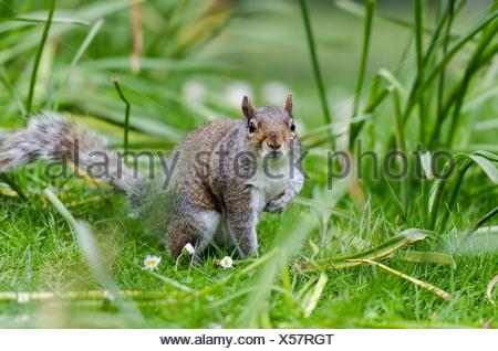 Grau oder grau-Eichhörnchen (Sciurus Carolinensis), in der Wiese, St James Park, London, Südengland, England, Vereinigtes Königreich - Stockfoto