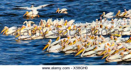 östlichen weißer Pelikan (Pelecanus Onocrotalus), Truppe Angeln, Gruppe, die Jagd auf den Lake Nakuru, Kenia - Stockfoto