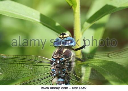 Makroaufnahme der Libelle auf Anlage - Stockfoto