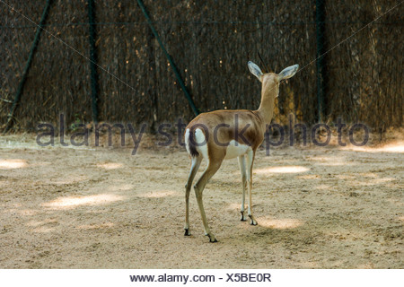 Gazelle in einem Zoo, Zoo von Barcelona, Barcelona, Katalonien, Spanien