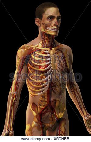 Dreiviertelansicht des Herz-Kreislauf-Systems von den männlichen ...