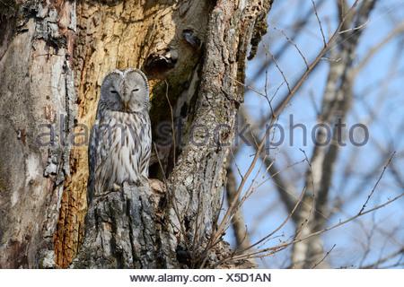 Habichtskauz (Strix Uralensis) thront auf einem alten Baumstamm, nisten in den alten Baum, Kawayu Onsen, Kushiro, Hokkaido, Japan - Stockfoto