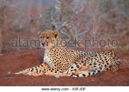 Ruhenden Erwachsenen weiblichen Gepard (Acinonyx Jubatus), Zimanga Private Game Reserve, KwaZulu-Natal, Südafrika - Stockfoto