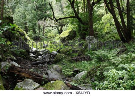 Bachbett in einem Laurisilva, Cubo De La Galga, El Canal y Los Tilos-Biosphären-Reservat, La Palma, Kanarische Inseln, Spanien - Stockfoto