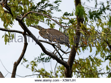Bare-throated Tiger-Reiher, Tigrisoma geschieht, Costa Rica - Stockfoto