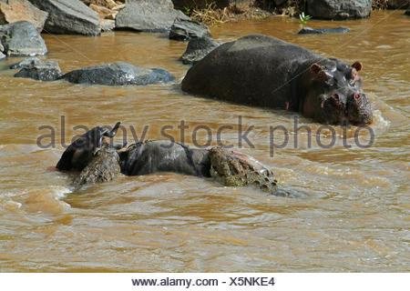 Nil-Krokodil (Crocodylus Niloticus), Krokodile, Gnus, Mara River, Kenia, Masai Mara Nationalpark angreifen - Stockfoto