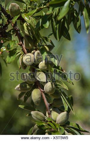 Mandeln (Prunus Dulcis) wächst auf einem Baum, Provence, Provence-Alpes-Cote, Frankreich - Stockfoto