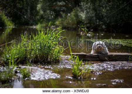 Ein Kleiner Weißer Hund Liegt Teilweise Über Ein Holzstück Und Schaut in Die Kamera. - Stockfoto