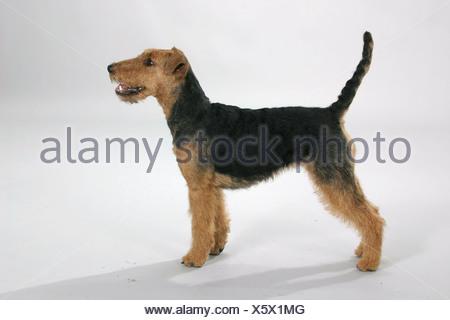 Welsh Terrier-Seite - Stockfoto