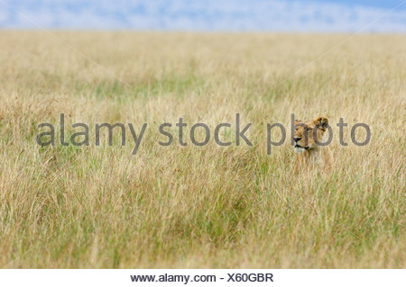 l win panthera leo im hohen gras alert l gen etosha national park namibia stockfoto bild. Black Bedroom Furniture Sets. Home Design Ideas