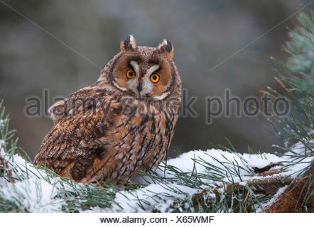Waldohreule (Asio Otus), die Waldohr-Eule Sitzt Auf Einem Schneebedecktem Nadelbaumast, Deutschland, Bayern | Waldohreule (Asio - Stockfoto