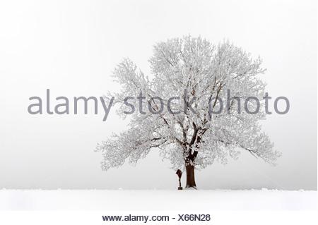 Schnee-bedeckten Baum im Nebel, Mindelheim, Unterallgaeu, Bayern, Deutschland, Europa - Stockfoto