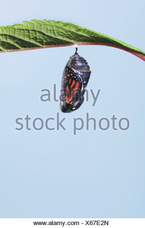 Monarch-Schmetterling Lebenszyklus Stockfoto, Bild: 18604176 - Alamy