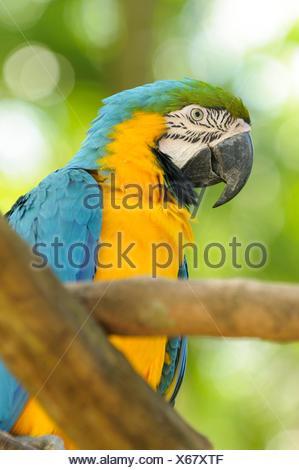 Blau-gelbe Ara (Ara ararauna), auch in Blau und Gold macaw, Yumka Park, Villahermosa, Tabasco, Mexiko, Amerika bekannt - Stockfoto
