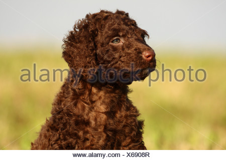 Irish Water Spaniel Welpen - Stockfoto