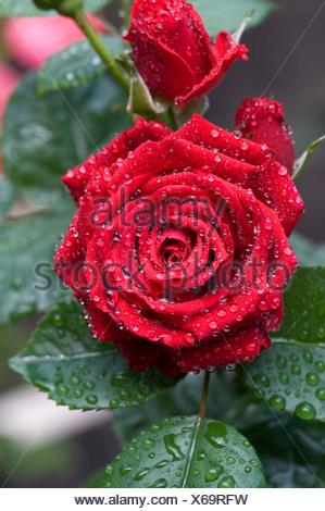 eine zarte und komplizierte rote bl te einer kleinen rose. Black Bedroom Furniture Sets. Home Design Ideas