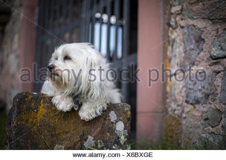Ein Weißer Kleiner Hund Liegt Auf Einem Stein Und Schaut aus Dem Bild Heraus. - Stockfoto