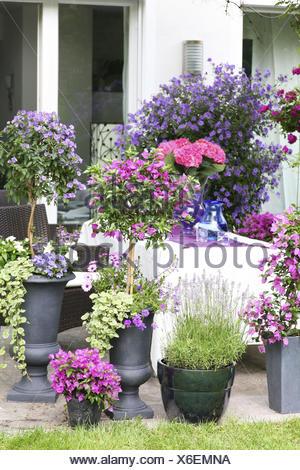 eingemachte lavandula lavendel stockfoto bild 43444664 alamy. Black Bedroom Furniture Sets. Home Design Ideas