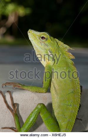 Grüne Crested Lizard (Bronchocela cristatella) auf der Seite des Pool, Klungkung, Bali, Indonesien.