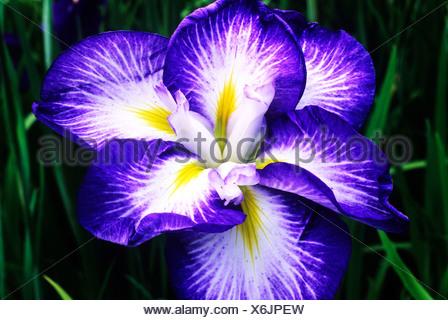 Iris Ensata \