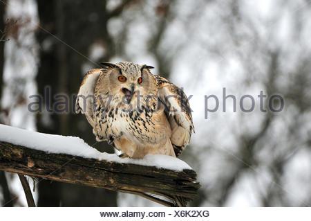 Eule Eulen sibirischen Eule Bubo Bubo Sibiricus Eulen-ähnliche Nachtvögel Beute Vögel Vogel Raptor Tier Tiere Deutschland Europa, - Stockfoto