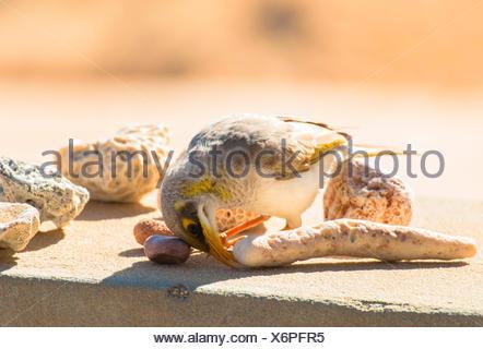 gelb-throated Miner (Manorina Flavigula), mit Korallen, Australia, Western Australia, Exmouth - Stockfoto