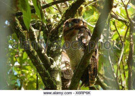 Eine braune Holz Eule, Strix Leptogrammica, sitzt auf einem Ast im Gunung Palung Nationalpark. - Stockfoto