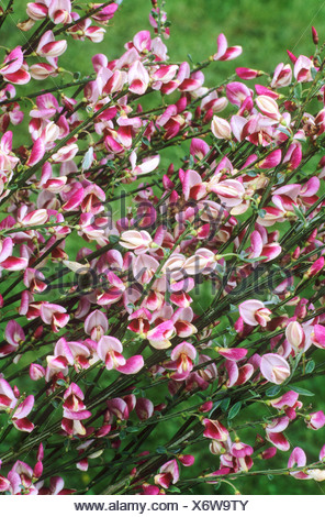 Cytisus \'Frau Norman Henry\' Besen rot und weiße Blume Blumen Garten ...
