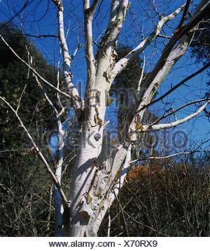 West-Himalaya-Birke Betula Utilis Vielzahl Jaquemontii blattlosen Baum und weiße Rinde - Stockfoto